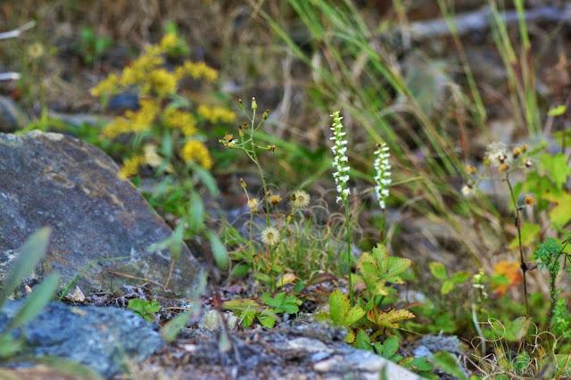 Ladies'-tresses orchid - Spiranthes sp.