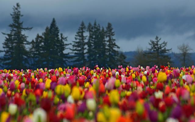 Foto met prachtige tulpen in de lente