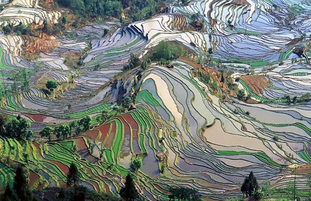 حقول الأرز, أفضل الصور, أجمل, ألوان,
