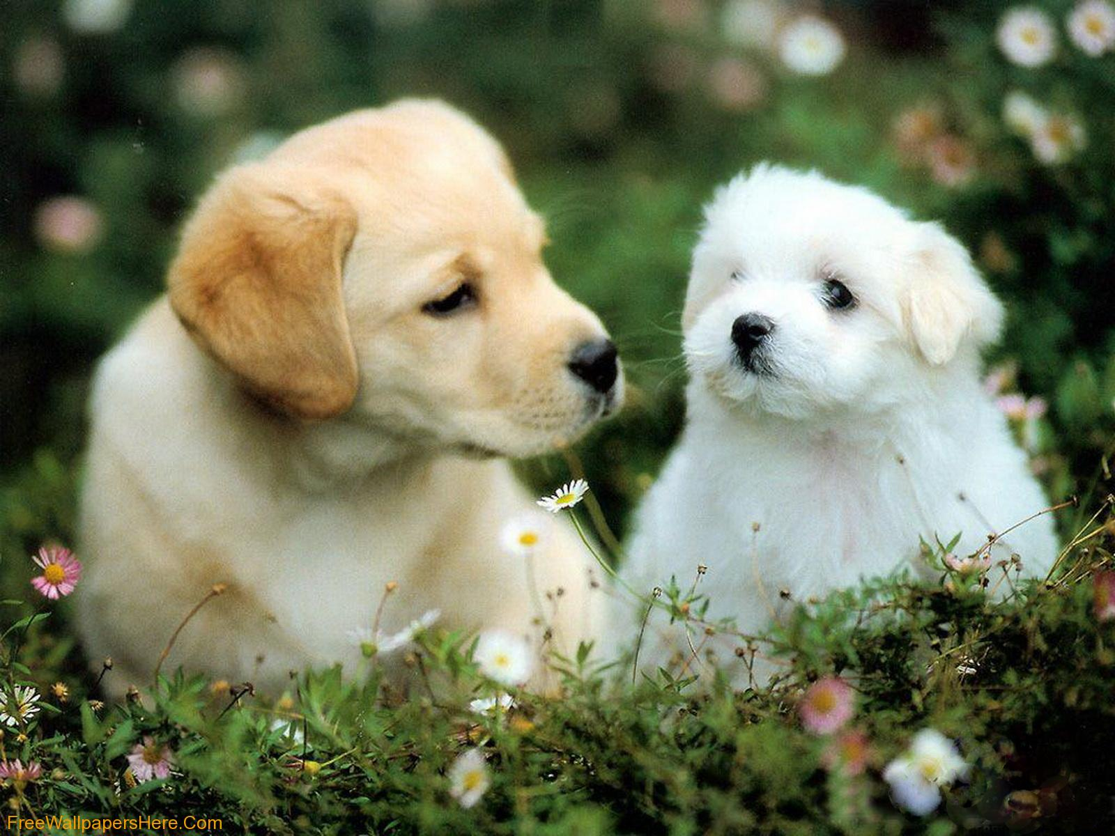 Wallpaper Gallery: Cute Puppies Wallpaper