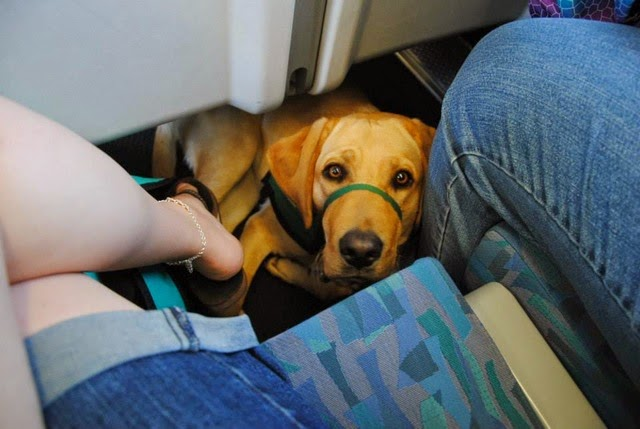 A yellow Lab puppy looks up at the camera while tucked under the seat on the train.