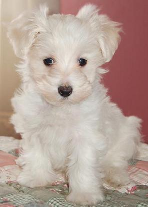 Dog Breeds - Malti Poo - Maltipoo