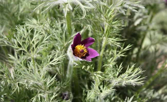 Pasque Flowers Pictures