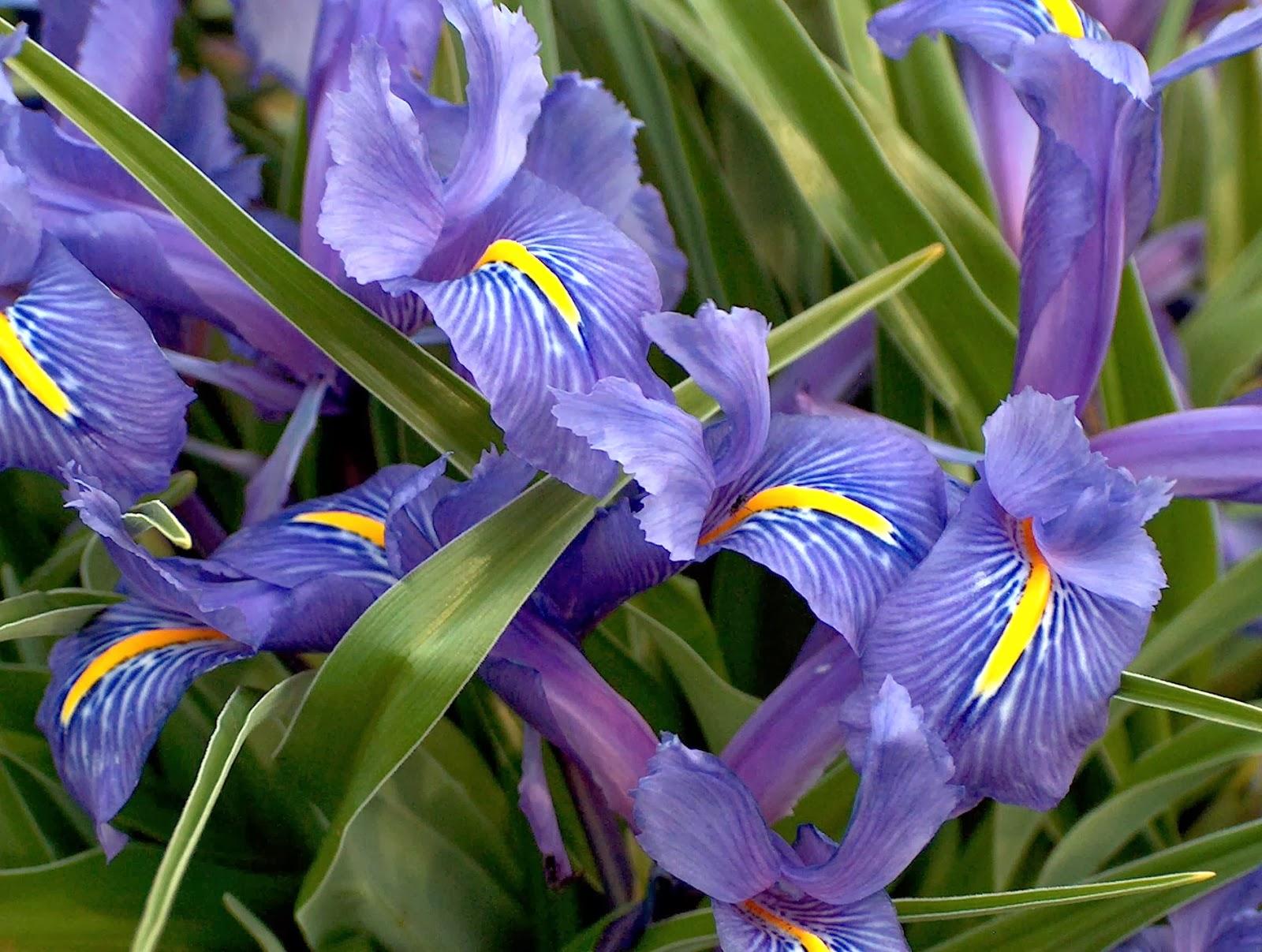 Dentro de la línea de trabajo de Flora iberica (http//www.floraiberica.es/ ,4/2/2014,), el pasado diciembre se publicó el volumen XX de Flora iberica,