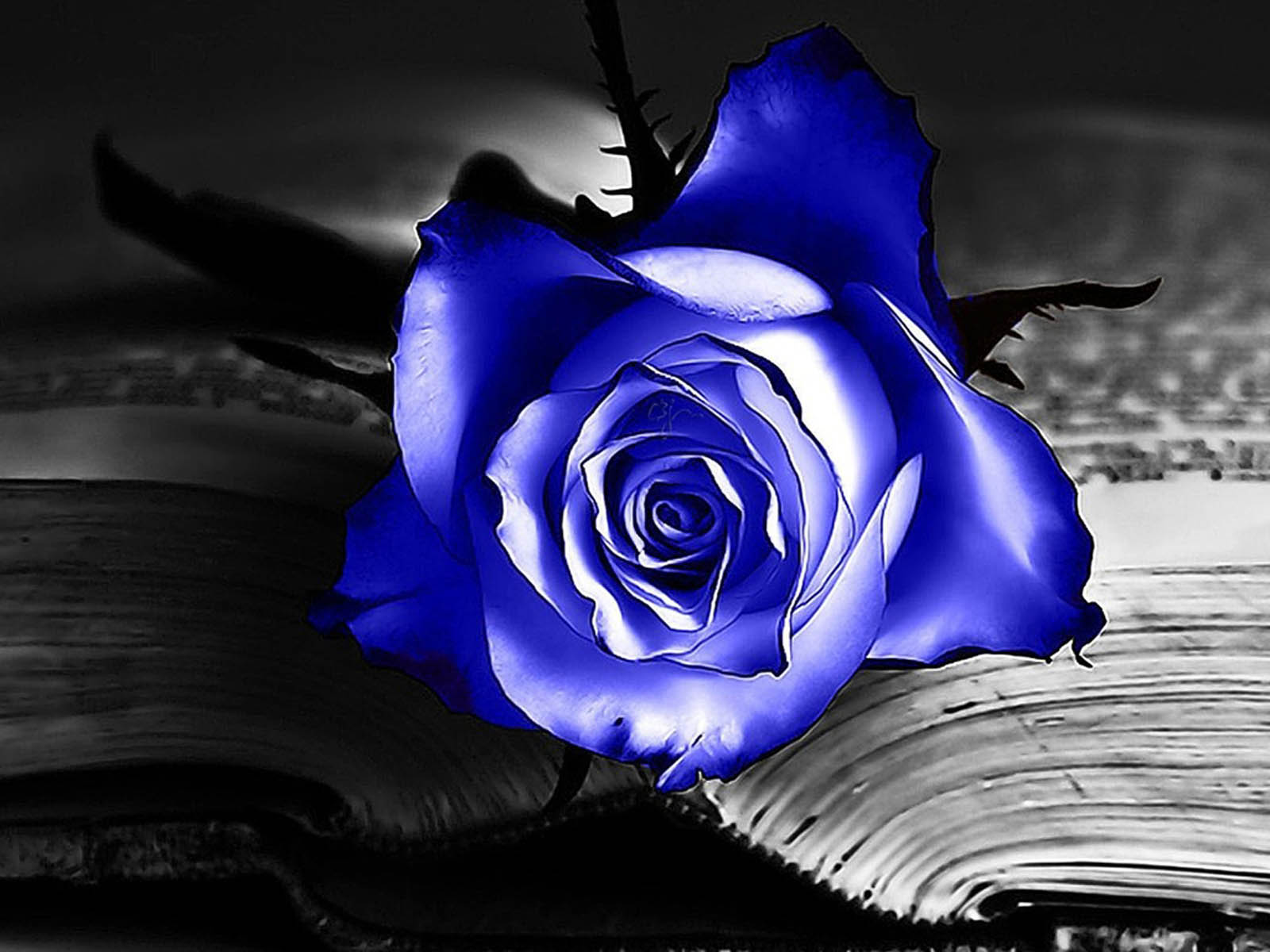 blue rose desktop wallpapers blue rose desktop backgrounds blue rose