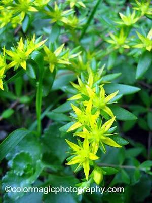 Gold moss-Sedum sarmentosum flower closeup