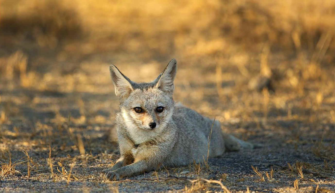 Indian Desert Fox