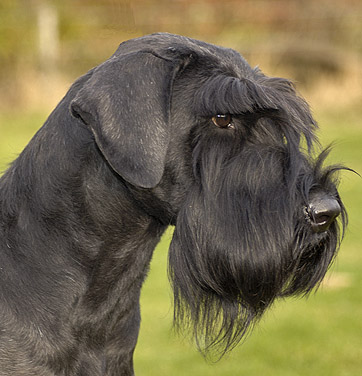 Are Giant Schnauzers Good Guard Dogs
