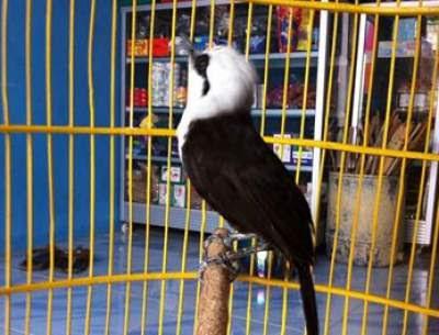 tips jitu menjinakan burung poksay 32165987