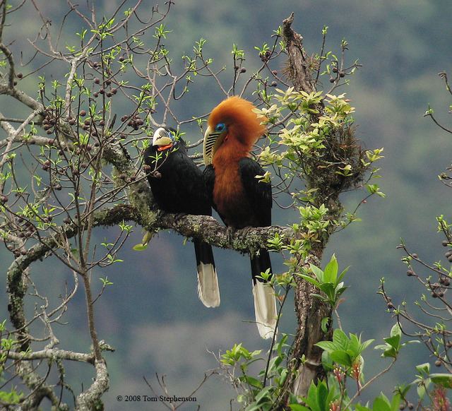 Hornbills are good icons for family values such as loyalty and responsibility.
