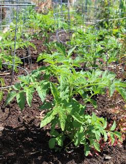 3 langkah singkat cara menanam tomat dengan cepat