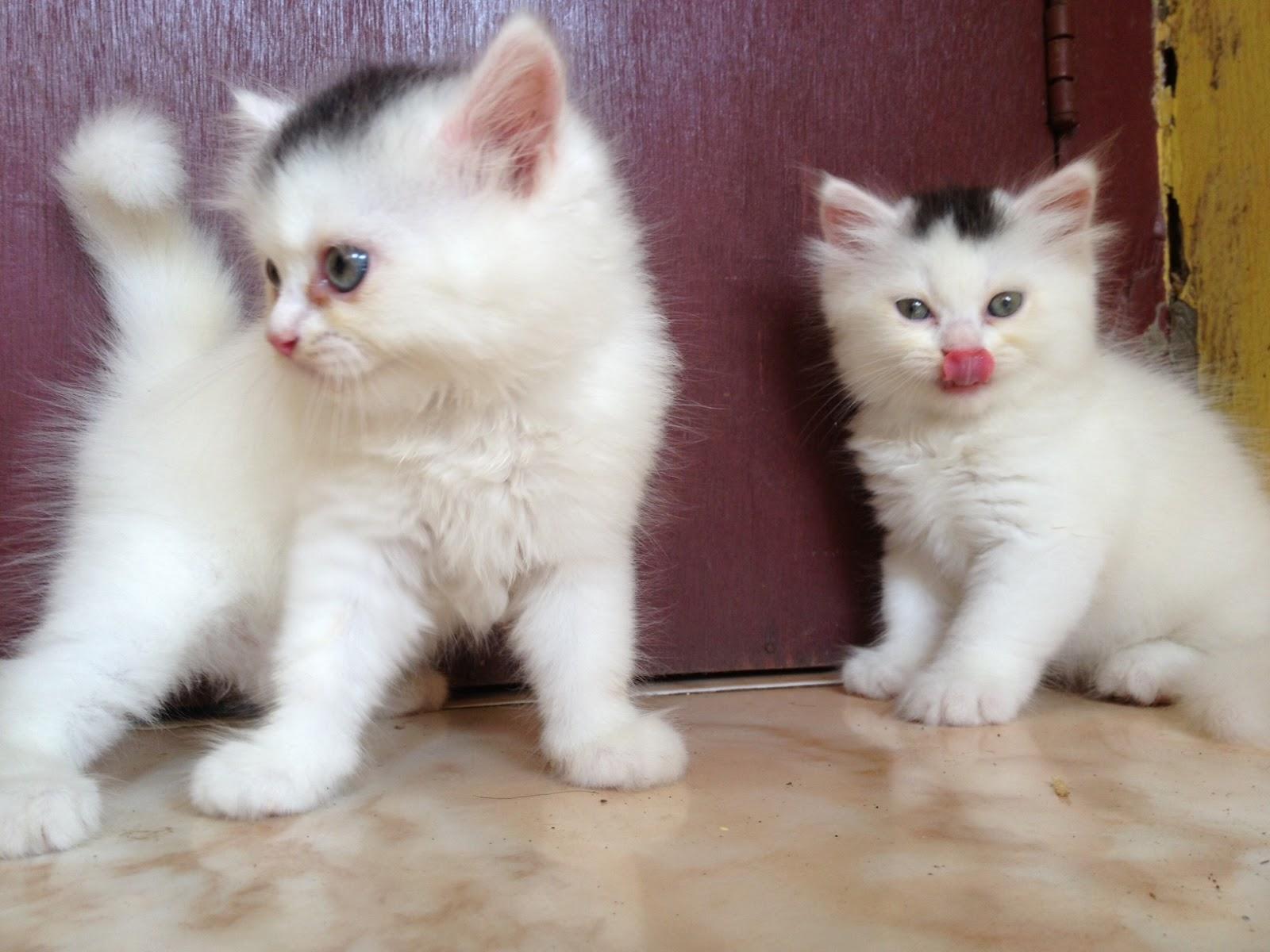 Miniature Persian Kittens Lisa, marie, persian cat