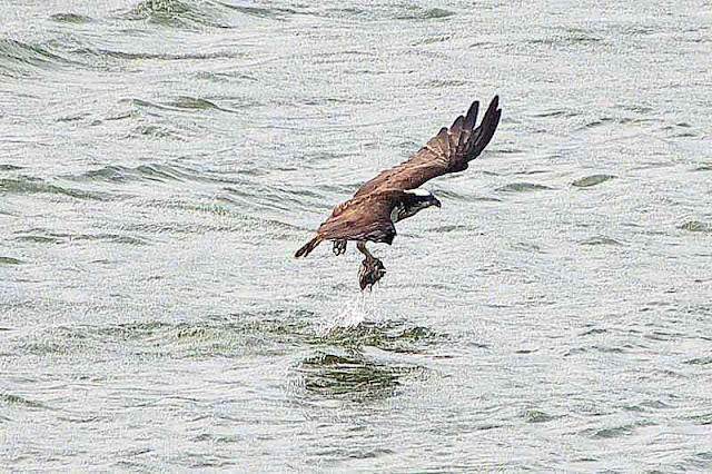 osprey, fish in one talon