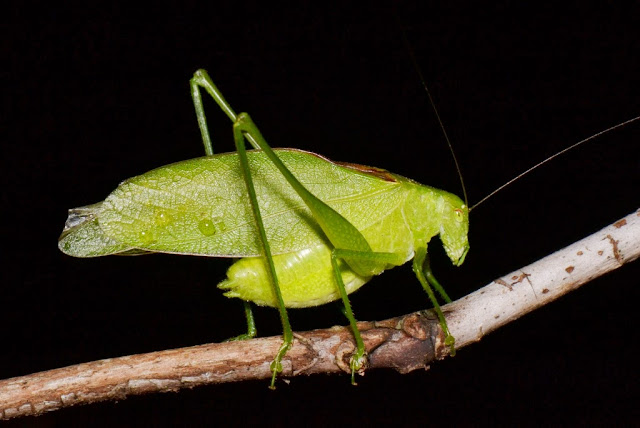 Clicker Round-winged Katydid
