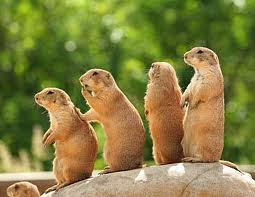 TheJungleStore.com blog - prairie dogs