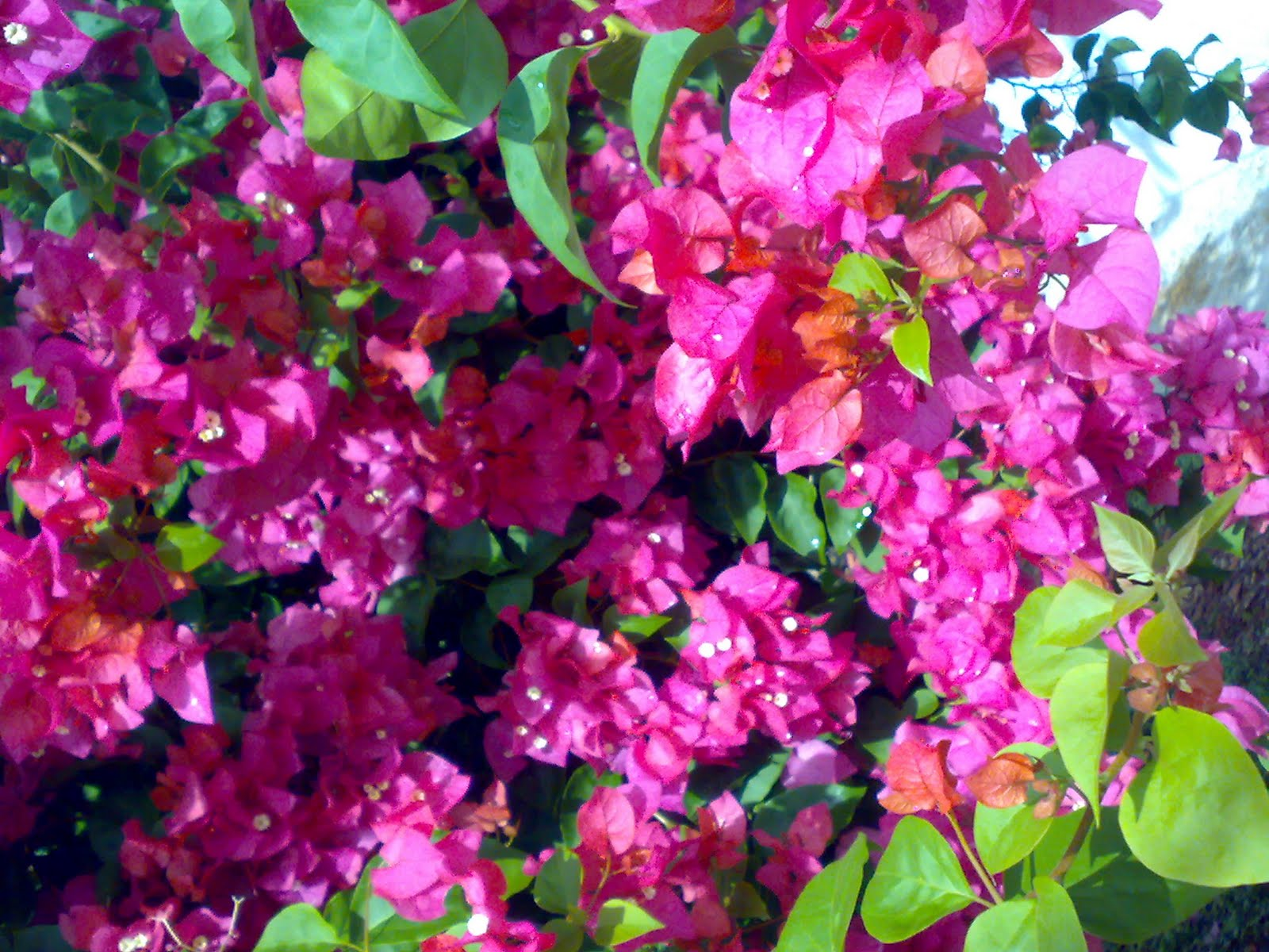 Like english etc beautiful flower 9 bougainvillea in its this is the bougainvillea planted by my mother today the plant is in its fullest bloom wow look at the beautiful flowers all over the plant izmirmasajfo