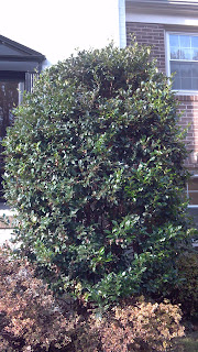overgrown bush in front of townhouses