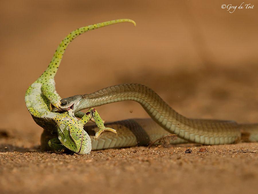 Boomslang Snake with Flap-Neck Chameleon