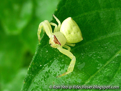 Stoliczka's Crab Spider (Thomisus stoliczka)
