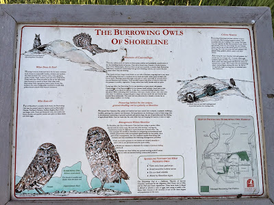 The Burrowing Owls of Shoreline