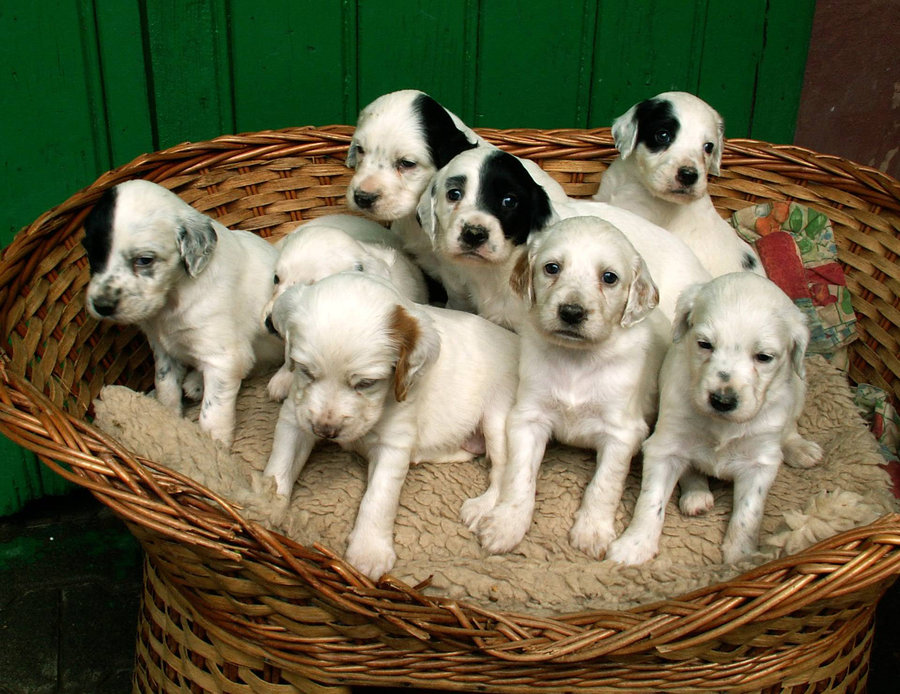 Dogs Info: English Setter Puppy