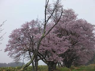 二見(ふたみ)ヶ丘にある網走刑務所敷地内の桜並木