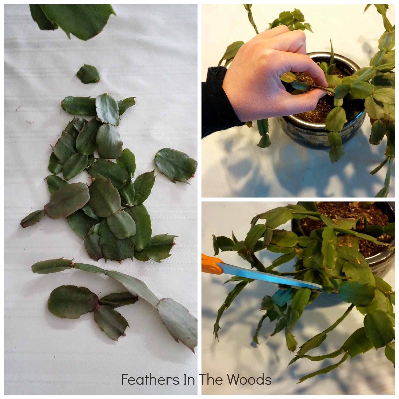 How I pruned the Christmas Cactus - Feathers in the woods
