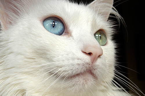 White Cat Blue Eyes Breed - Cats Types White Kitten With Blue And Green Eyes