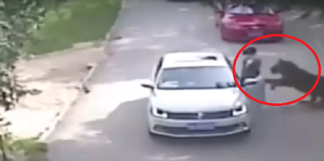 Βίντεο- σοκ: Τίγρης σκοτώνει γυναίκα σε πάρκο στην Κίνα