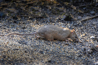 rat treatment, seattle, kitsap county pest control