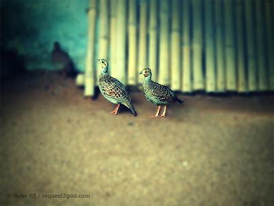 birds, grey francolin, teetar, grey partridge,small  grey birds