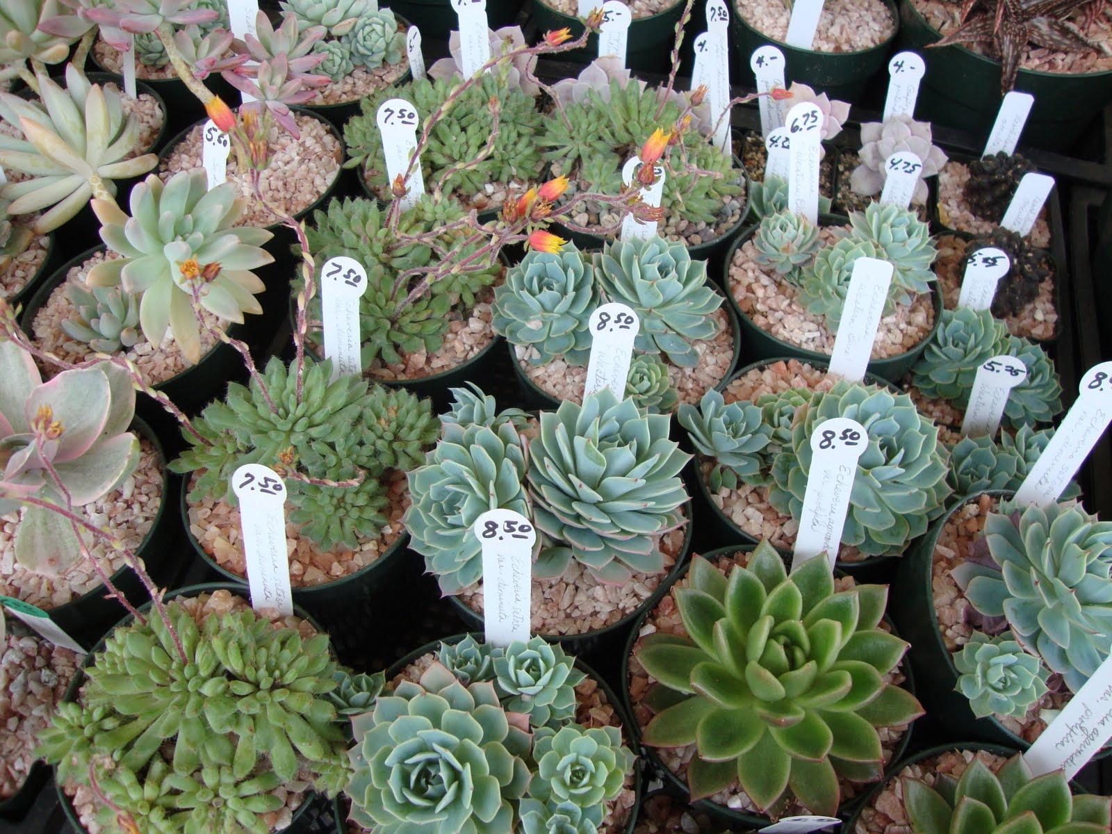 danger garden oregon cactus succulent society show and sale. Black Bedroom Furniture Sets. Home Design Ideas
