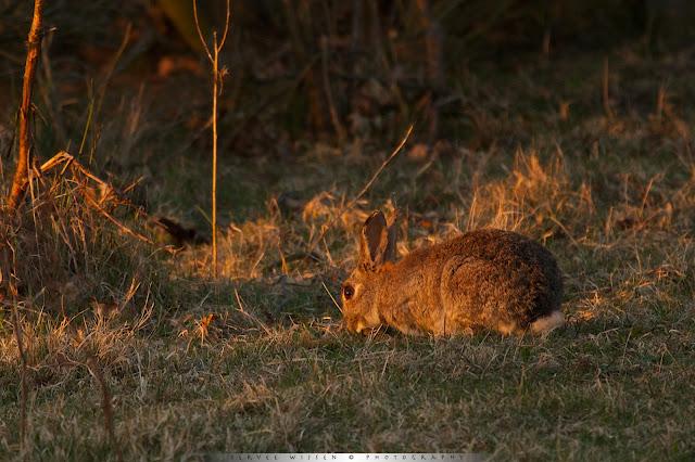 Konijn - Rabbit - Oryctolagus cunilicus