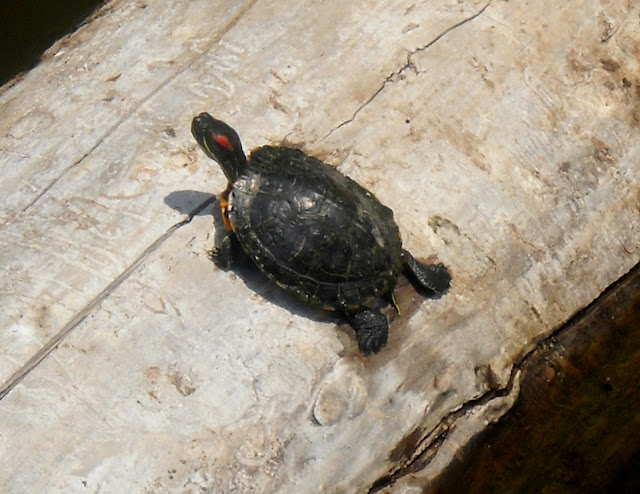 Red Eared Slider turtle basking on a log at White Rock Lake, Dallas, TX