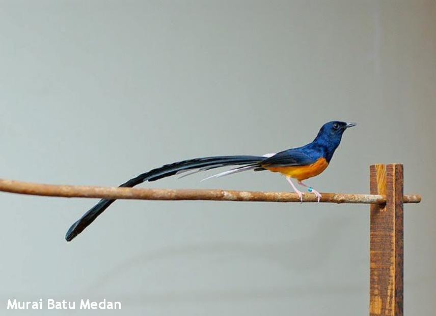 foto burung murai - gambar hewan - foto burung murai