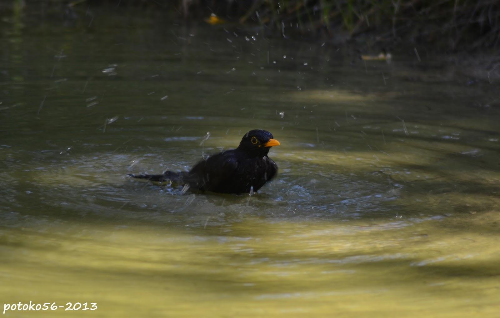 Mirlo bañandose en la laguna Rota