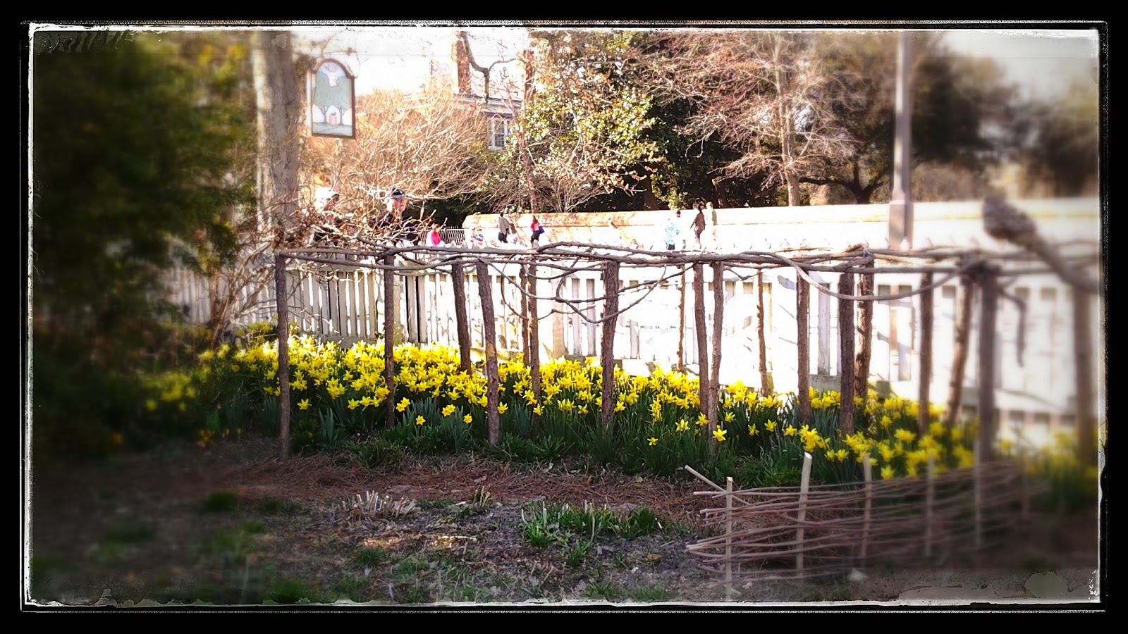 daffodils in Colonial Williamsburg via foobella.blogspot.com