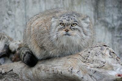 Felis Manul, el antepasado del gato doméstico