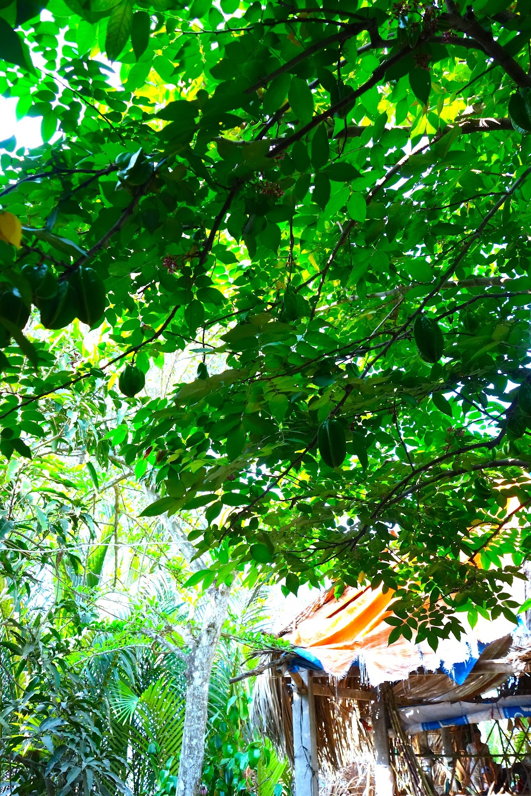 starfruit trees Vietnam 2015