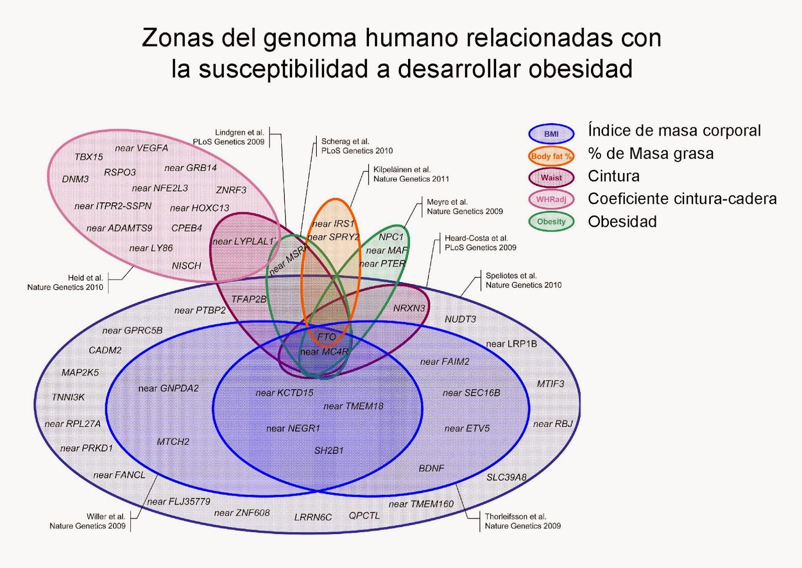 Zonas del genoma humano relacionadas con la obesidad