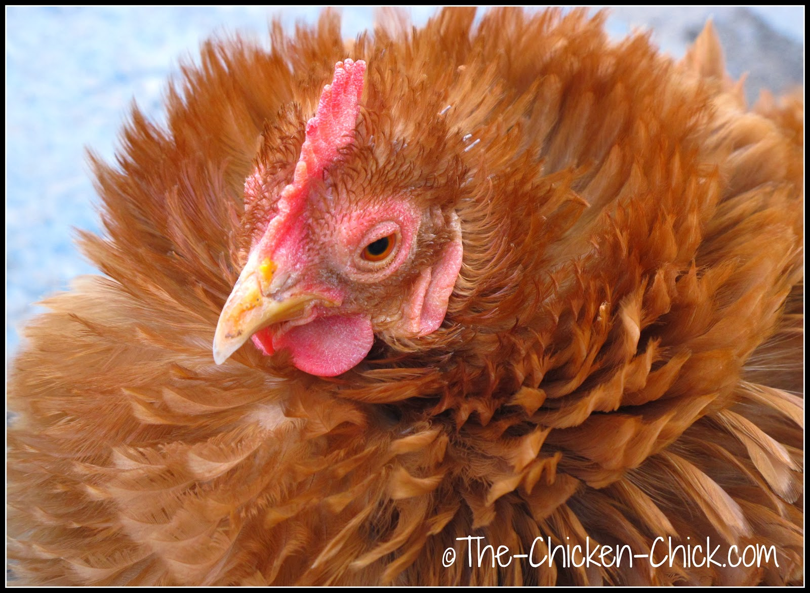 Egg yolk on a chicken's beak can indicate an egg eater.
