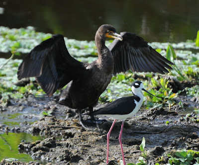 Double-crested Cormorant and Black-necked Stilt
