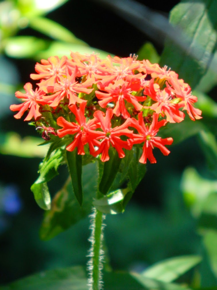 Maltese Cross Lychnis chalcedonica by garden muses-not another Toronto gardening blog