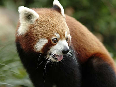 best-red-panda-photos