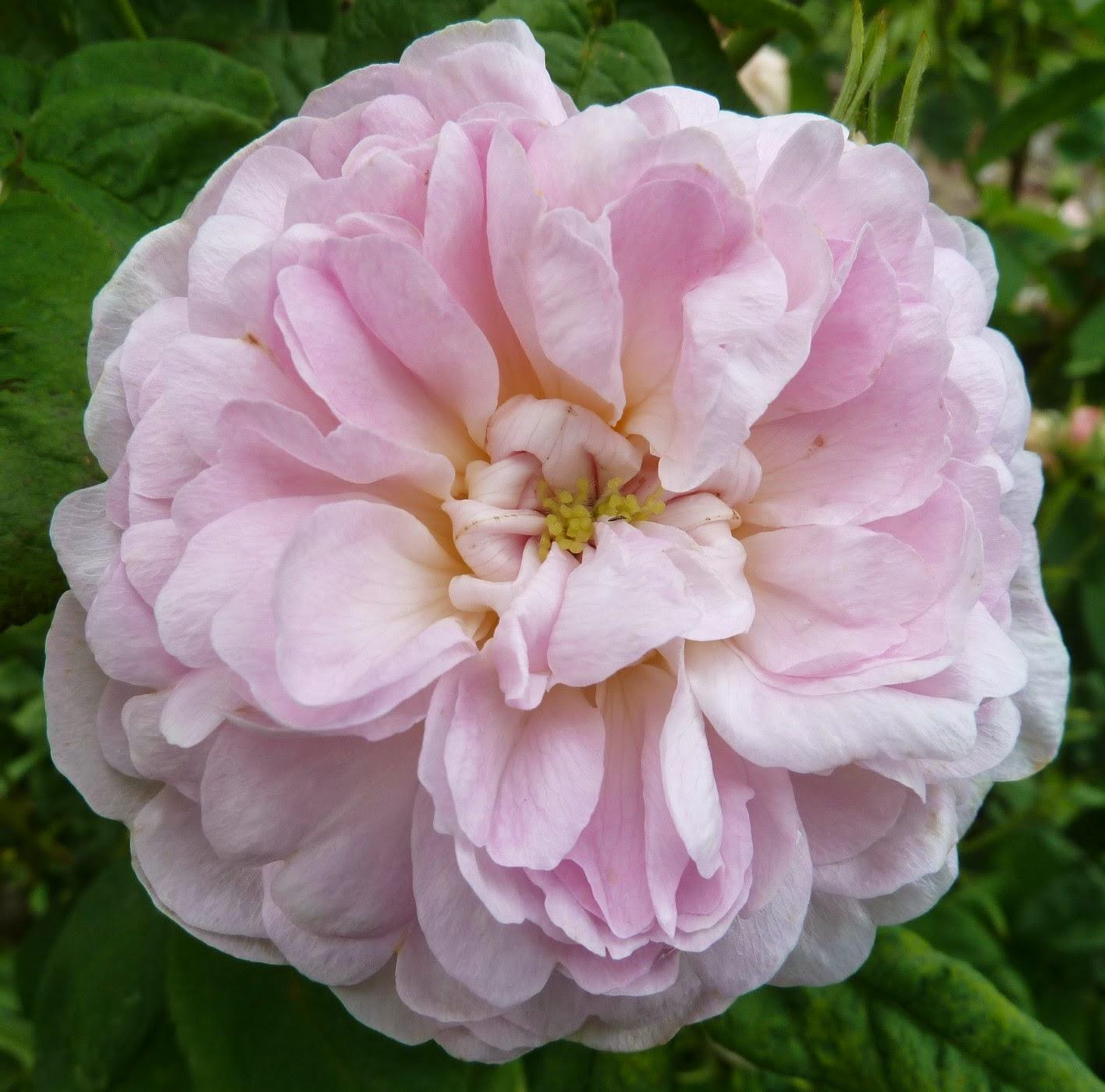 Arte y jardiner a rosales gallica 2 parte for Jardineria rosales