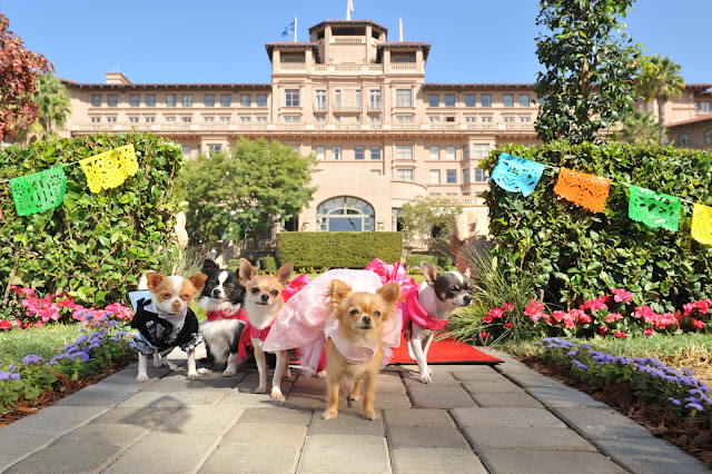 Puppies of Beverly Hills Chihuahua