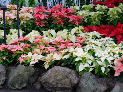 Poinsettias massed at Allan Gardens Conservatory  2015 Christmas Flower Show by garden muses-not another Toronto gardening blog