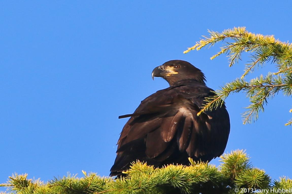 First Flights: Fledgling Bald Eagles in Southeast Alaska ...