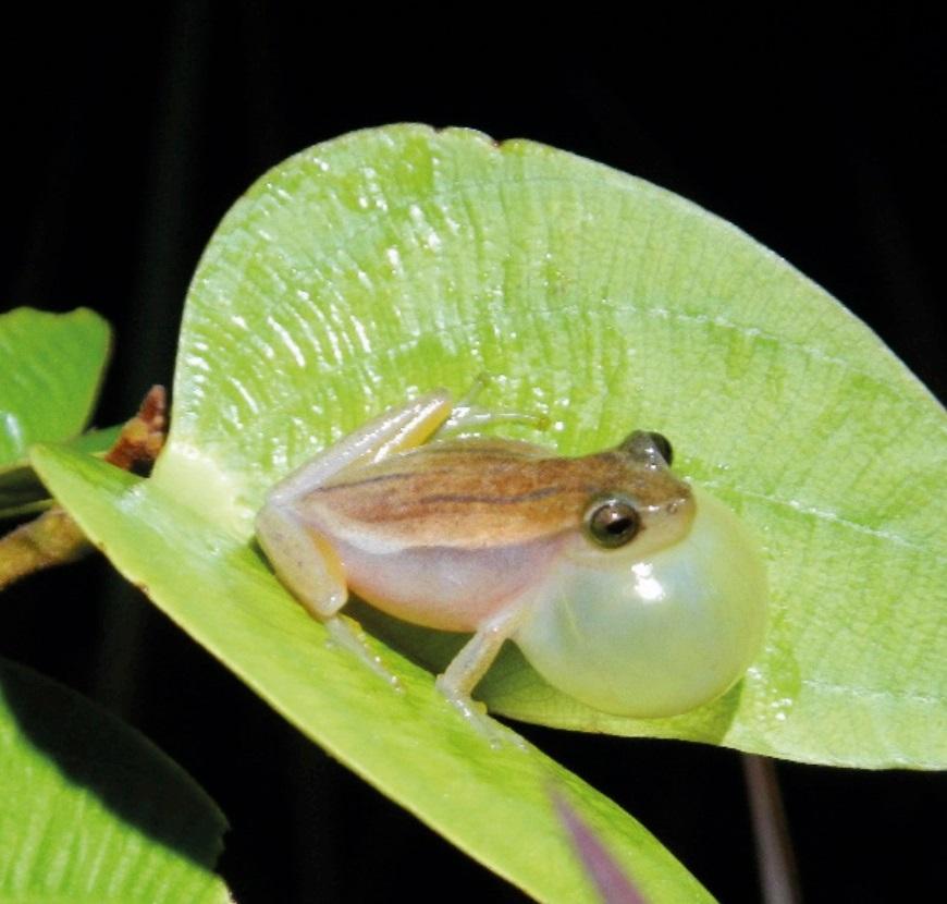 Dendropsophus rozenmani