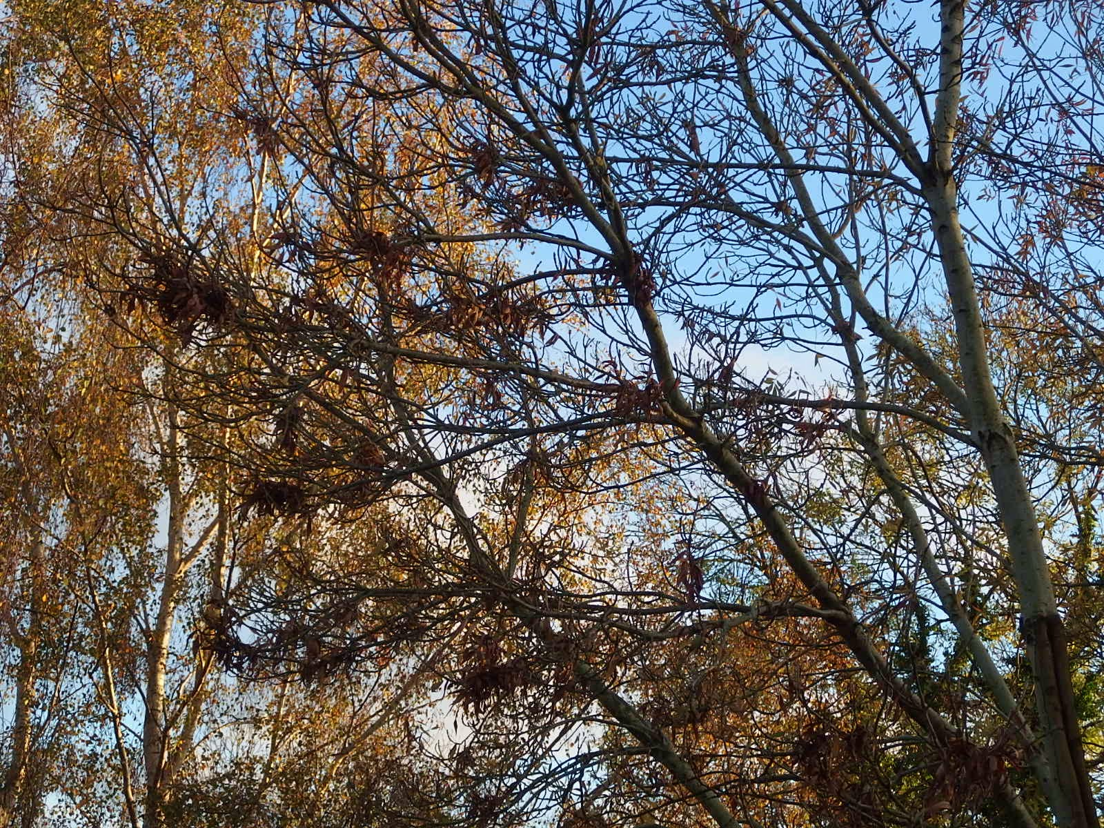 Photo of an ash tree in the final stages of autumn 2014